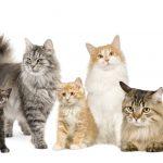 أفضل 5 أنواع قطط تعرض 4sale