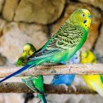 أنواع طيور الزينة