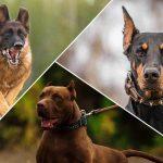 أنواع الكلاب التي تصلح للحراسة