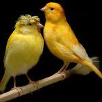 أنواع طيور الكناري