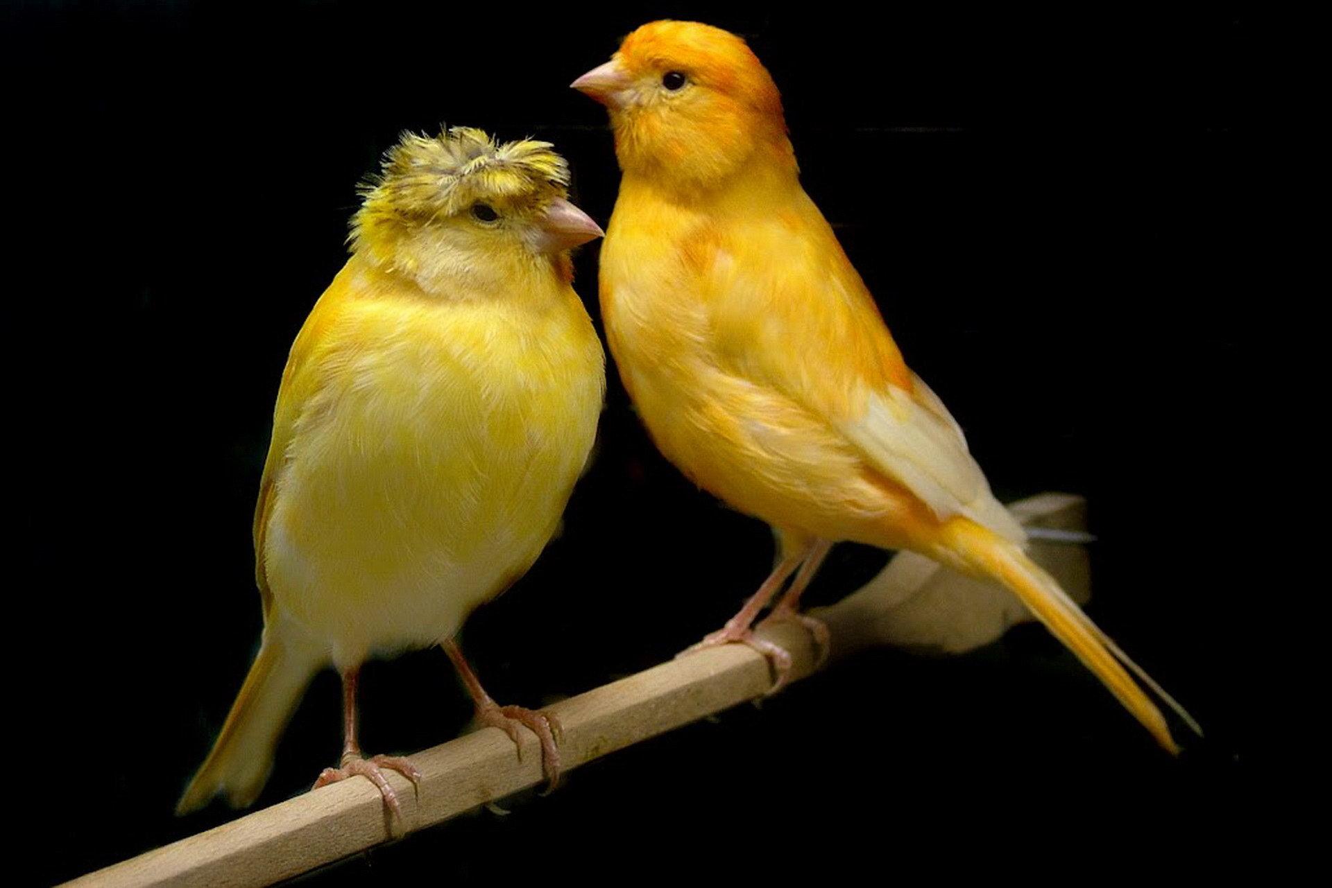 أنواع طيور الكناري اقرأ السوق المفتوح