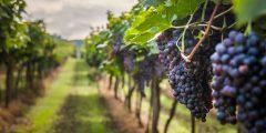 كيفية زراعة العنب