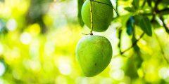 مواعيد زراعة شتلات المانجو
