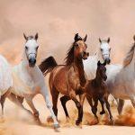 أجمل الخيول العربية الأصيلة
