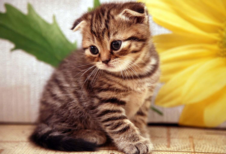 أشهر أنواع القطط