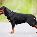 أشهر أنواع كلاب الحراسة