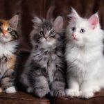 أضرار تربية القطط في المنزل