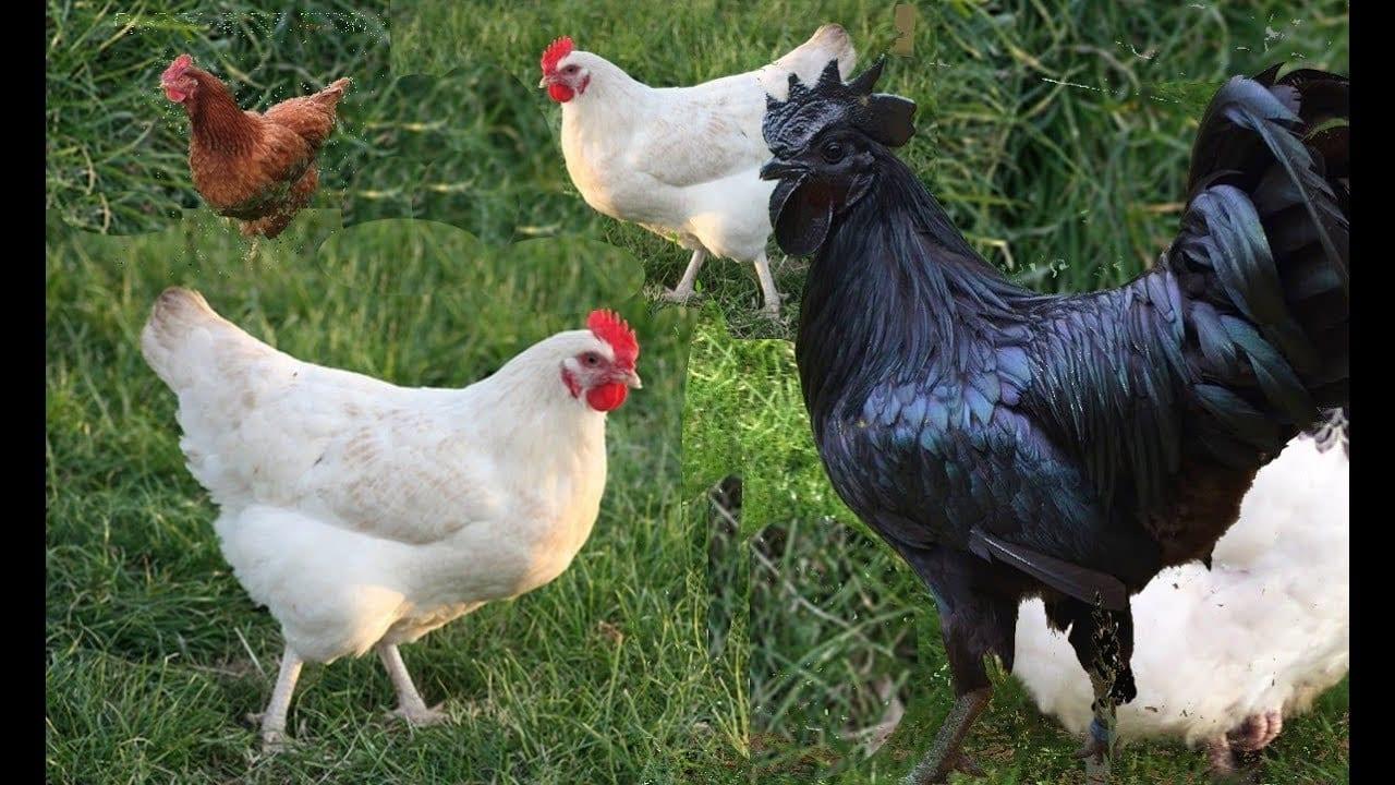 أفضل أنواع الدجاج للتربية