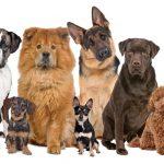أفضل انواع الكلاب
