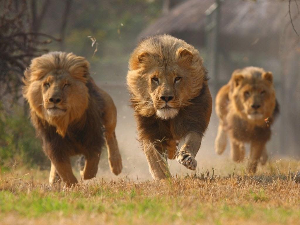 أقوى الحيوانات المفترسة
