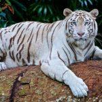 أقوى حيوان مفترس في العالم