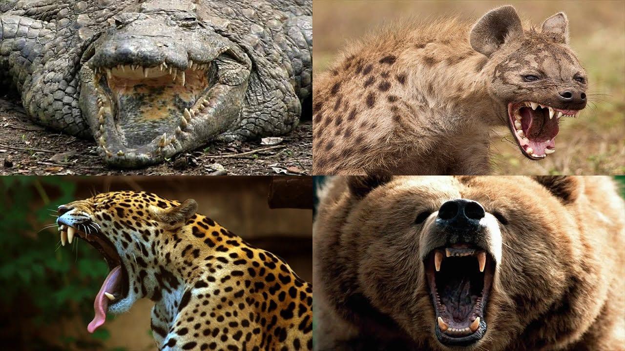 أقوى فكوك الحيوانات