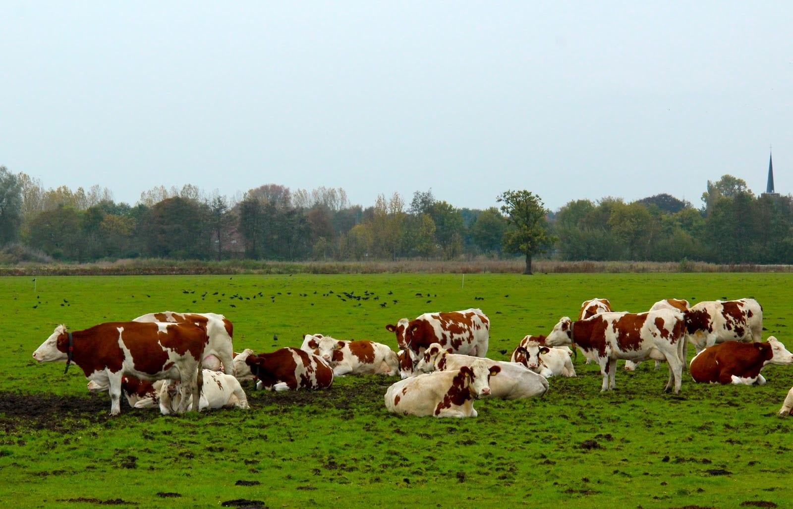 أنواع البقر