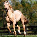 أنواع الحصان العربي الأصيل