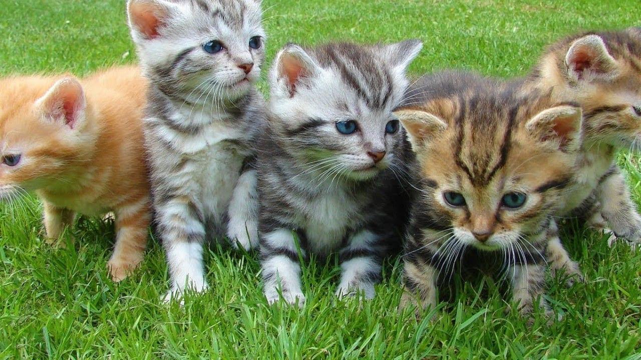 أنواع القطط وأسماؤها