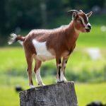 اسم صغير الماعز