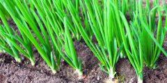 زراعة البصل في المنزل
