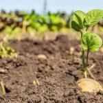 زراعة البطاطس في المنزل