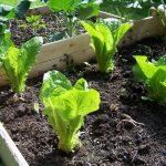 زراعة الخس في المنزل