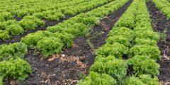 زراعة الخس