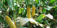 زراعة الذرة في المنزل