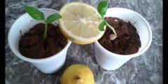 زراعة الليمون في المنزل