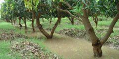 مراحل نمو شجرة المانجو