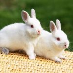 طريقة تربية الأرانب