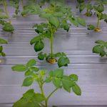 طريقة زراعة البطاطس دون تربة