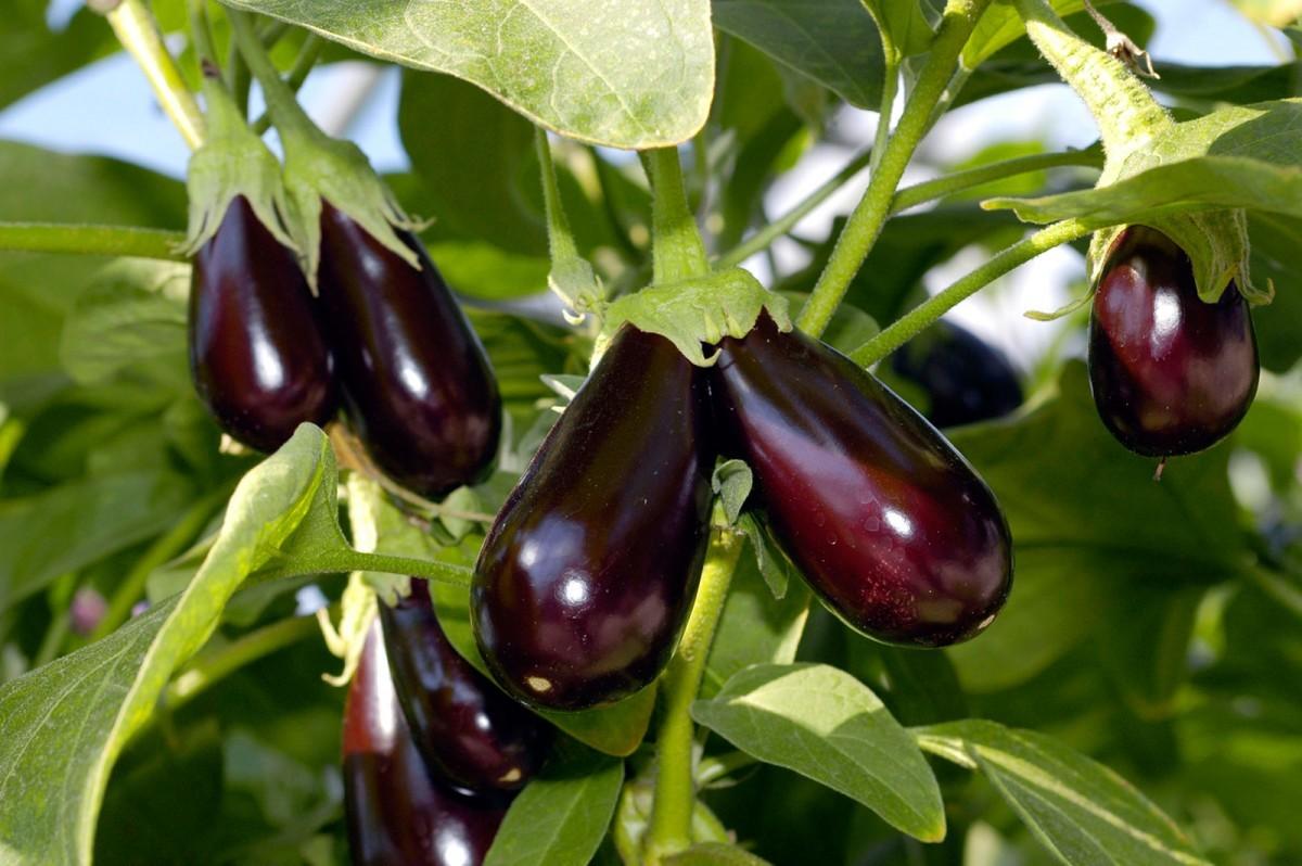 طريقة زراعة الفلفل والباذنجان