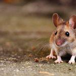 طريقة طرد الفئران