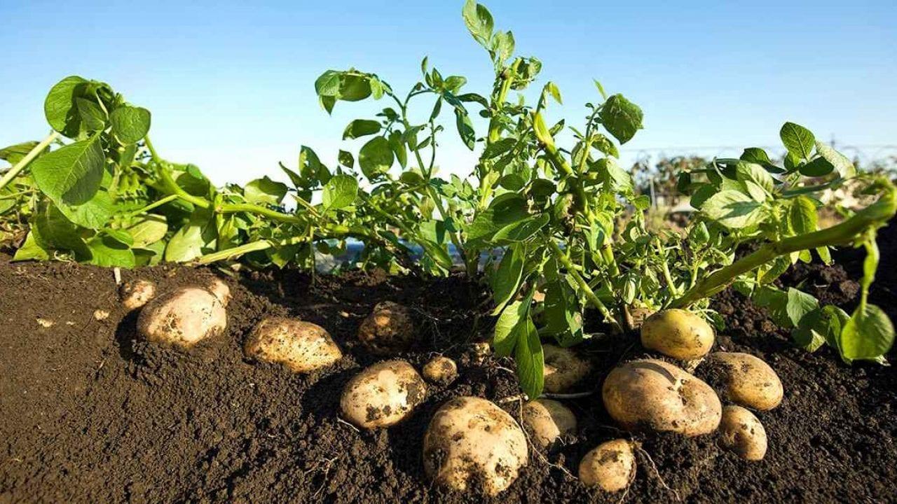 كيف تزرع البطاطس