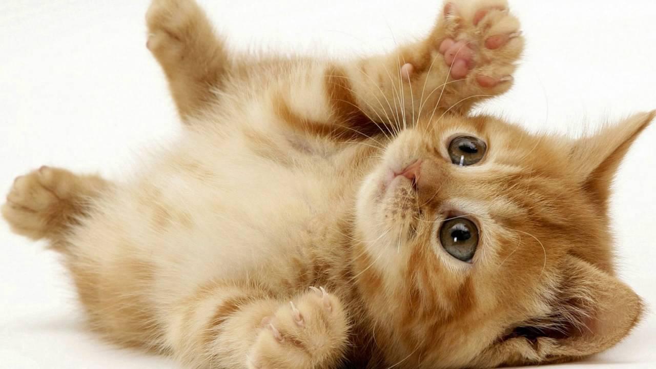 ما مدة حمل القطط