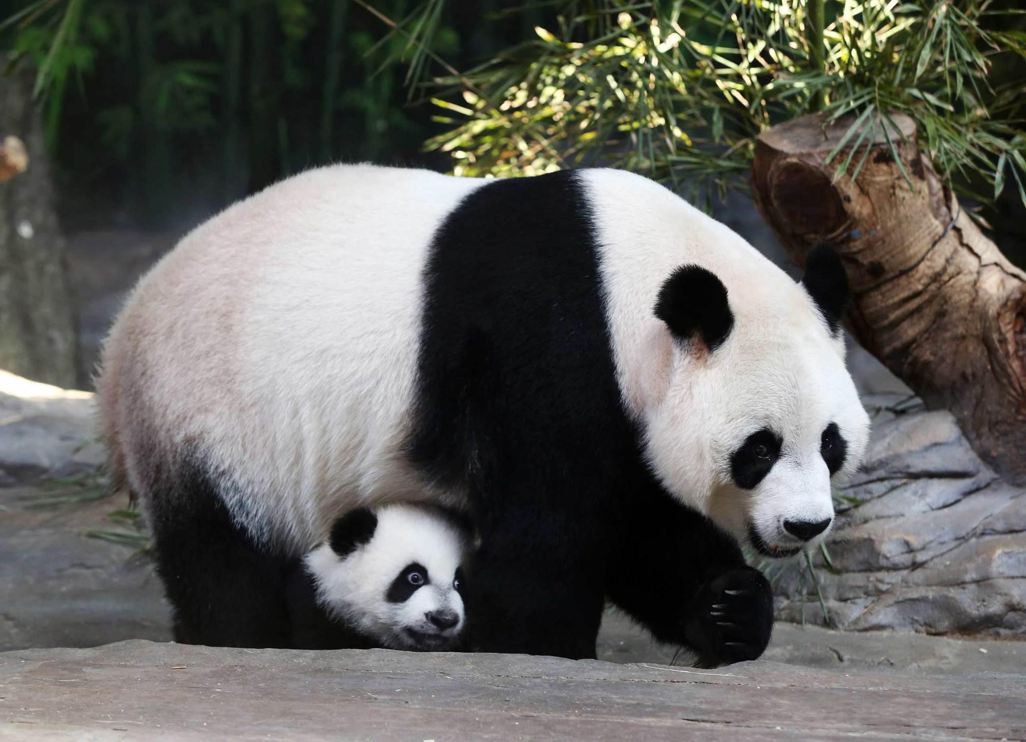 أين يعيش حيوان الباندا