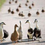 الفرق بين الإوز والبط