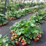 زراعة الفراولة بالبذور