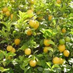 زراعة الليمون