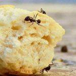 سبب وجود النمل الأحمر في البيت