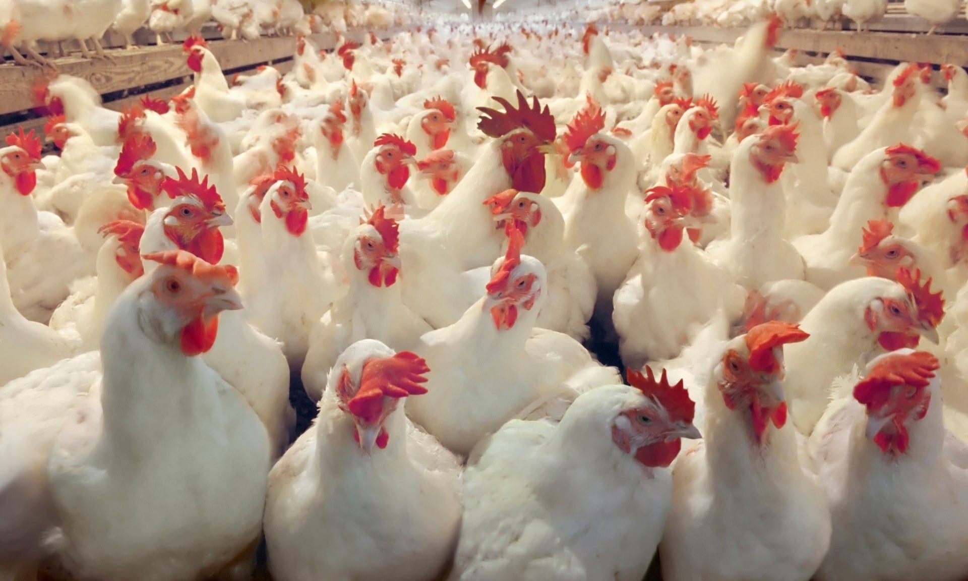 طريقة تربية الدجاج