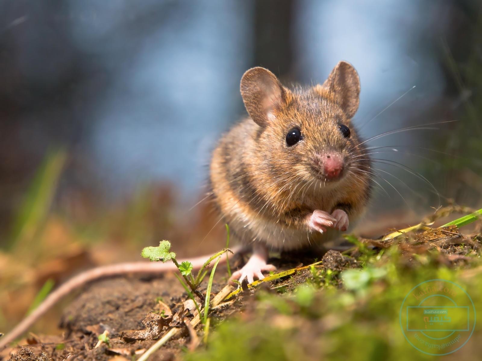 طريقة طرد الفئران من المنزل