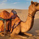 كم سنام للجمل العربي