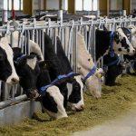 كم مدة حمل البقرة