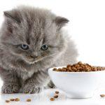 كيفية إطعام القطط الصغيرة