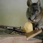 كيفية القضاء على الفئران في المنزل