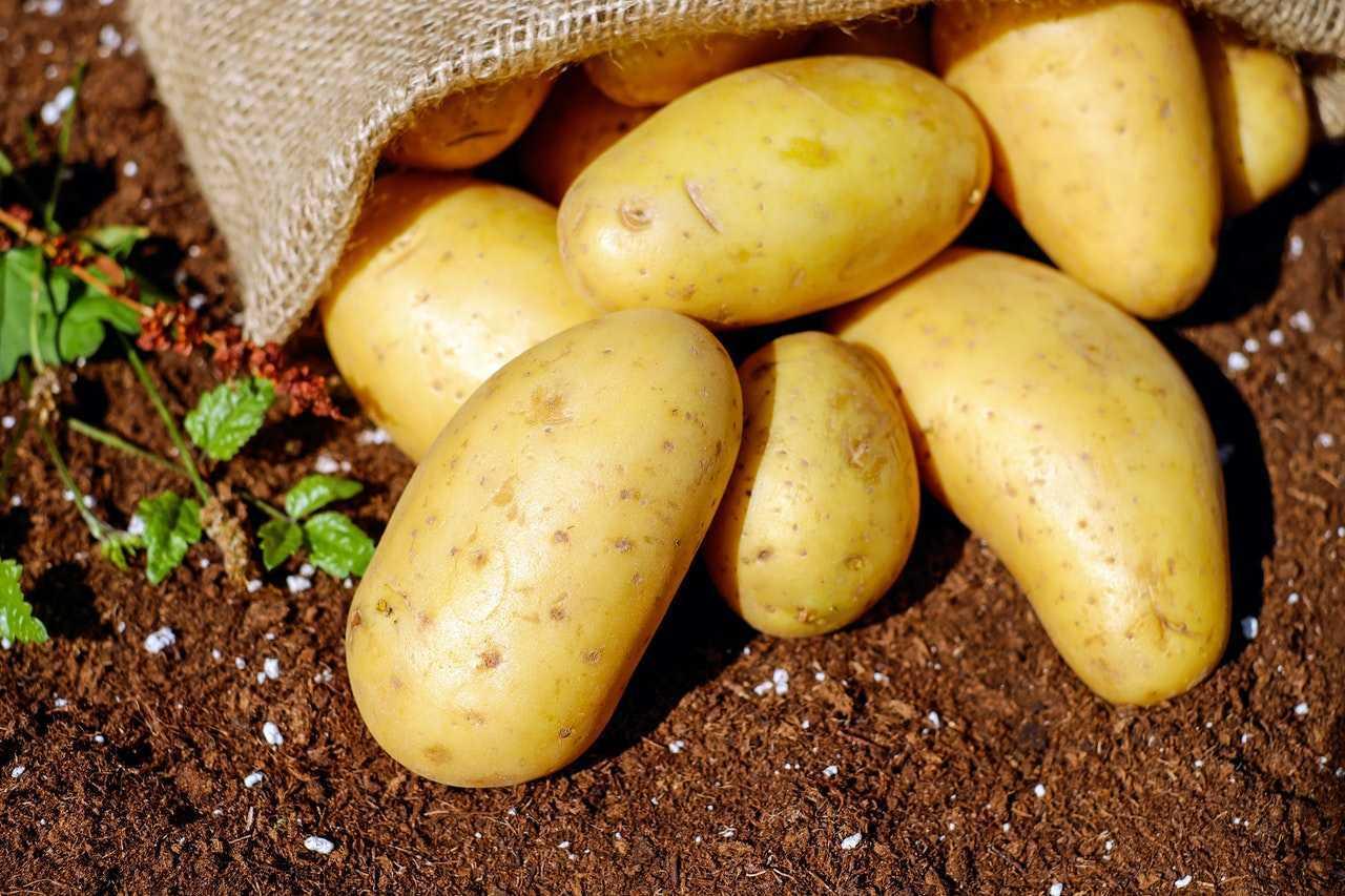 كيفية زراعة البطاطس