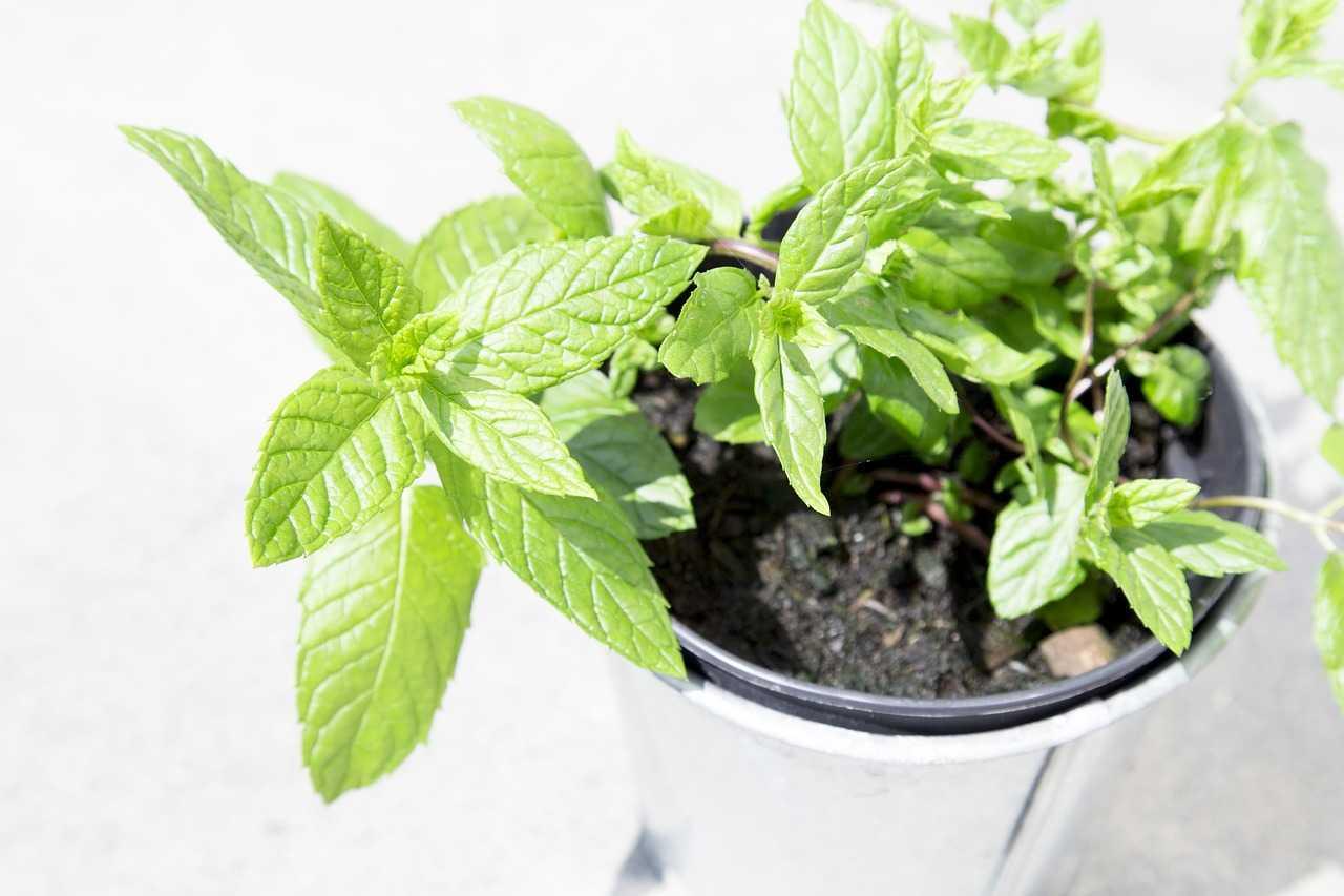 كيفية زراعة النعناع في المطبخ