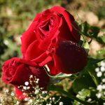 كيفية زراعة الورد البلدي