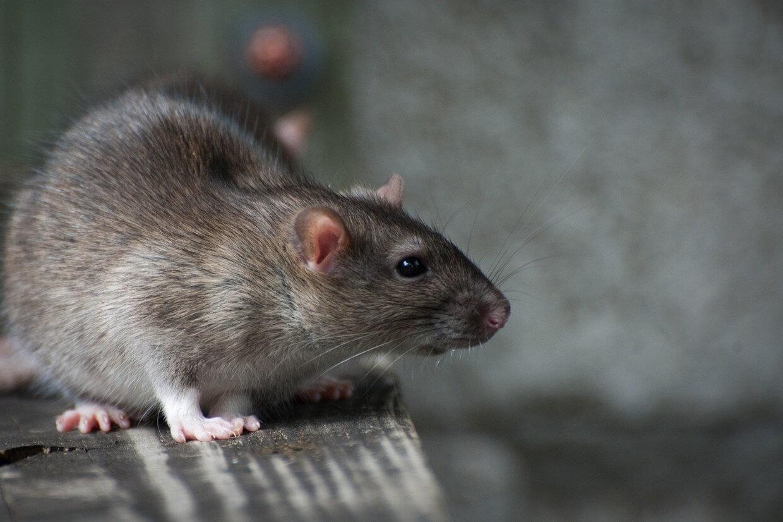 كيف أقضي على الفئران