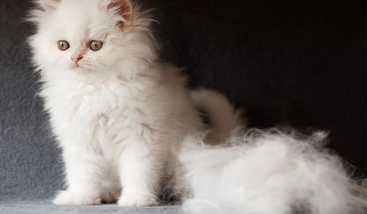 كيف أمنع تساقط شعر القطط