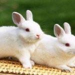 كيف تتم تربية الأرانب